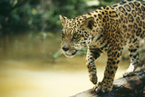 Jaguar Sub-Adult Male Crossing River on Log Photographic Print