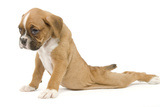 Boxer Puppy in Studio Sitting with Back Photographic Print