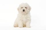 Bichon Frise Puppy Sitting in Studio Fotografisk tryk