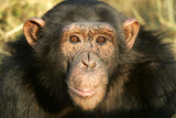 Chimpanzee, Close-Up of Face Photographic Print