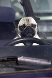 Pug Sitting Behind Wheel of Car Photographic Print