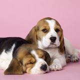 Beagle Dog Puppies Photographic Print