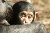Chimpanzee, Close-Up of Babies Face Photographic Print