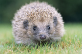 Hedgehog Close-Up from Front Photographic Print