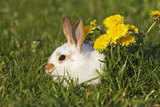 Domestic Rabbit Young with Dandelion Photographic Print