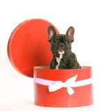 French Bulldog Sitting in Hat Box Photographic Print