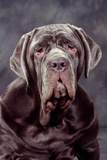Neapolitan Mastiff Dog Close-Up of Head Photographic Print