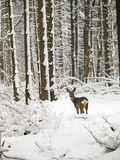 Roe Deer in Snow Photographic Print