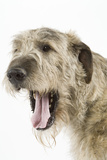 Irish Wolfhound with Mouth Wide Open Photographic Print