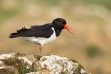 Oystercatcher Calling Out to Mark Territory Reproduction photographique