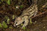 Large- Spotted Genet Photographic Print