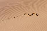 Cape Cobra Tracks in Sand Photographic Print