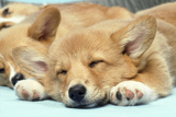Welsh Corgi Dog (Pembroke), Close-Up Asleep Photographic Print