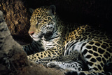 Jaguar Female, with 2 Day Old Cub in Forest Floor Photographic Print