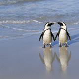 Jackass Penguin Pair Photographic Print