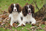 English Springer Spaniel Pair Sitting in Leaves Photographic Print