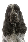 English Cocker Spaniel Sitting in Studio Photographic Print