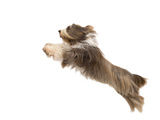 Bearded Collie Leaping in Mid-Air Photographic Print