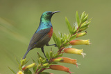 Ruwenzori Double Collared Sunbird Photographic Print