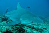 Bull Shark Photographic Print