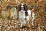 English Springer Spaniel Standing in Ferns Photographic Print