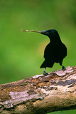 New Caledonian Crow Using Tool to Dislodge Worms Papier Photo