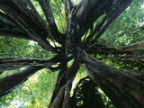 Strangler Fig View Looking Up into Tree Showing Photographic Print
