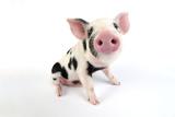 Pig Kune Kune Cross Gloucester Old Spot Piglet Reproduction photographique