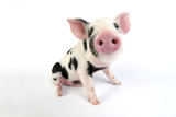 Pig Kune Kune Cross Gloucester Old Spot Piglet Reprodukcja zdjęcia