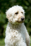 Goldendoodle (Head Shot) Photographic Print
