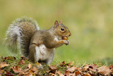 Grey Squirrel Finding Acorn Amongst Autumn Leaves Fotografisk tryk