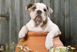 Bulldog Puppy in Flowerpot Photographic Print