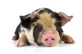 Pig 2 Week Old Kune Kune Piglet Photographic Print