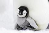 Emperor Penguin Chick Sheltering on Adult's Feet Fotografisk tryk