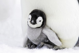 Emperor Penguin Chick Sheltering on Adult's Feet Photographic Print
