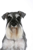 Miniature Schnauzer Photographic Print