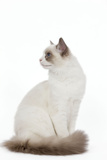 Blue Point White Ragdoll Photographic Print