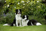 Border Collies Sitting in the Garden Fotografisk tryk