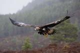 Golden Eagle in Flight Fotodruck