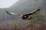 Golden Eagle in Flight Photographic Print