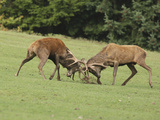 Red Deer Bucks Fighting in Rut Season Photographic Print