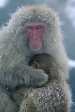 Japanese Macaque Monkey Mother and Baby Photographic Print