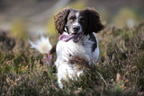 English Springer Spaniel Running Through Heather Photographic Print