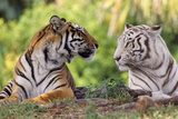 Bengal Indian Tiger Normal and White Looking at Each Other Photographic Print