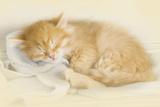 Siberian Kitten Sleeping Photographic Print