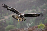 Golden Eagle in Flight Fotografie-Druck