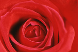 Rose Heart of Red Rose Photographic Print
