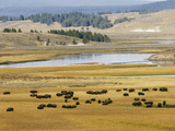 American Buffalo Yellowstone, US Photographic Print
