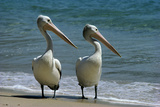 Australian Pelican Two Birds at Wateros Edge Reproduction photographique