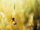 Garden Spider with Prey in Web Photographic Print